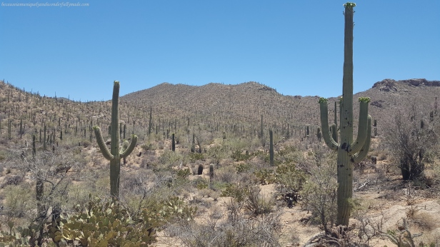 The saguaro is one of many plants in Arizona protected by the Native Plant Protection Act, and within national park lands, the removal of any plant is illegal. Also, all land in the state is owned by somebody whether it is federal, state, tribal, or private.