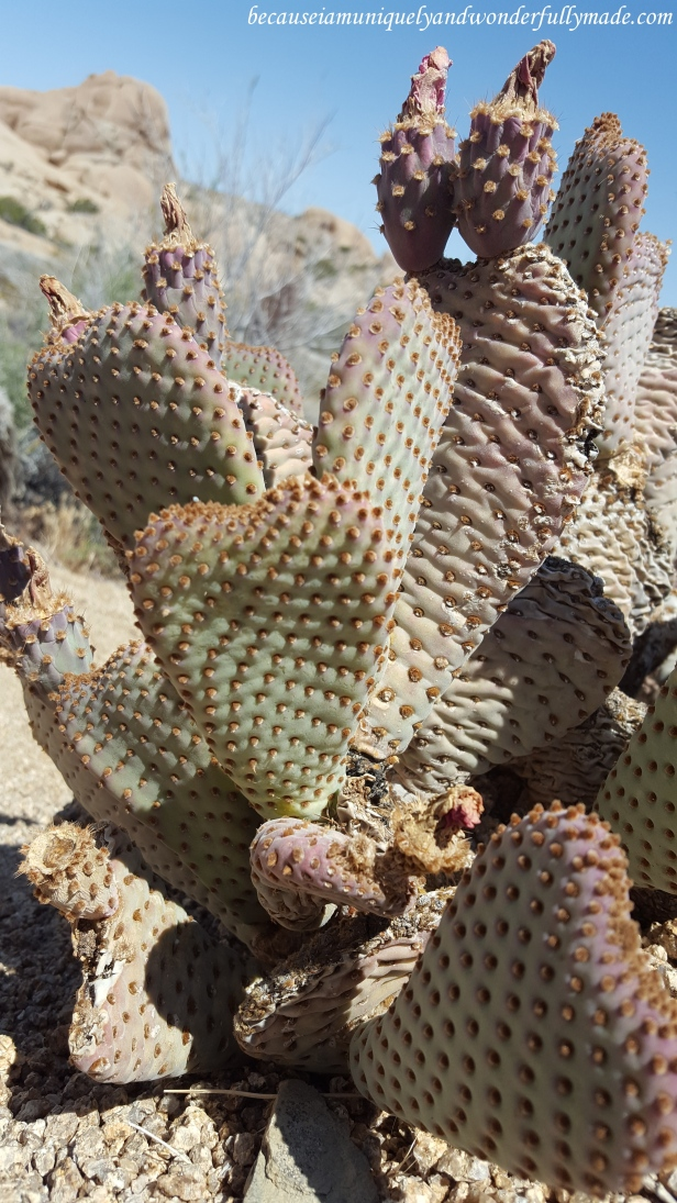 Beavertail cactus, also known as Opuntia basilaris, with heart shaped stems, is one of the interesting fauna we saw on our trail towards the Skull Rock formation at Joshua Tree National Park.