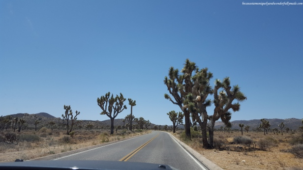 Joshua trees even grow on the side of the road at Joshua Tree National Park.