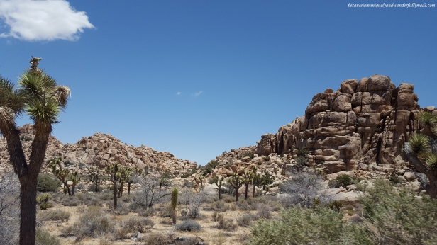 I love how the Joshua trees carpet the rocky landscape at Joshua Tree National Park in California.