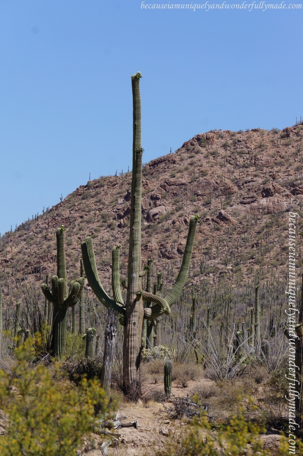 "The saguaro cactus (Carnegiea Gigantea) is perhaps the most recognizable symbol of the American Southwest. Saguaro is an Indian word. The correct pronunciation is ""sah-wah-ro"" or ""suh-wah-ro."""