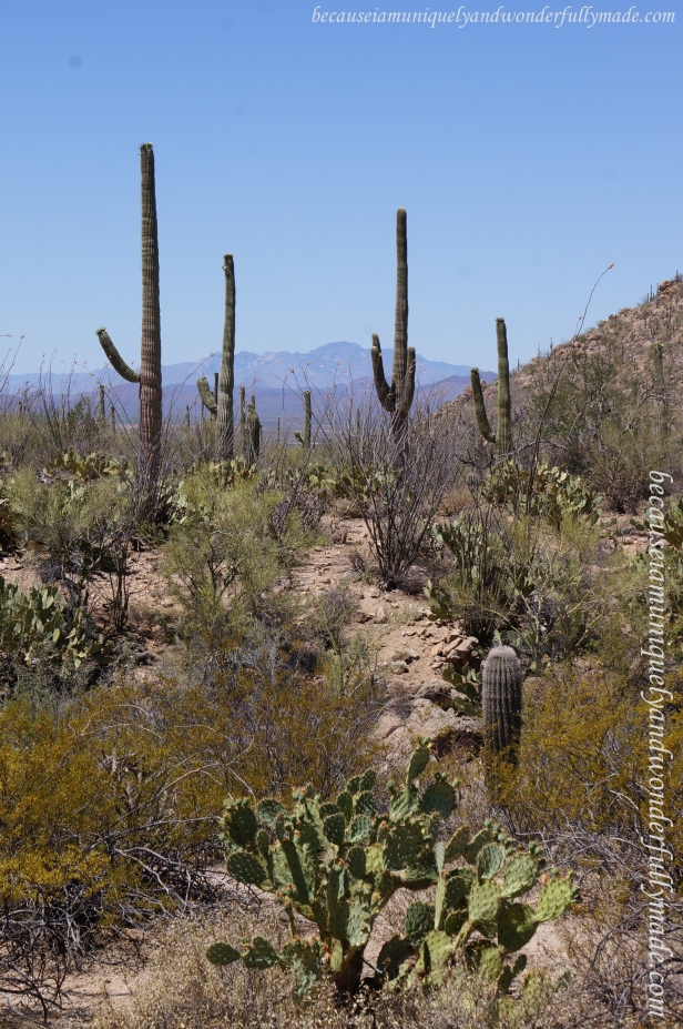 Picture perfect American Southwest at Saguaro National Park.