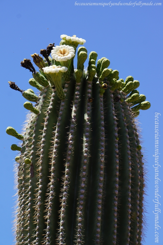 Saguaro flowers are usually found near the tops of the stems and arms of the cactus. They are white in color about 3 inches (8cm) in diameter.
