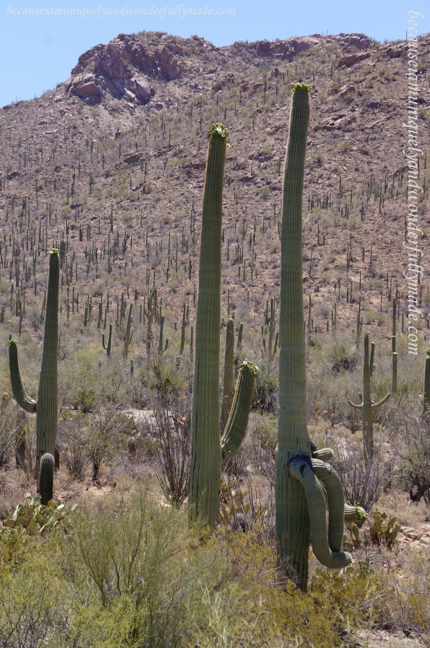 In Saguaro National Park, studies indicate that a saguaro grows between 1 and 1.5 inches in the first eight years of its life.