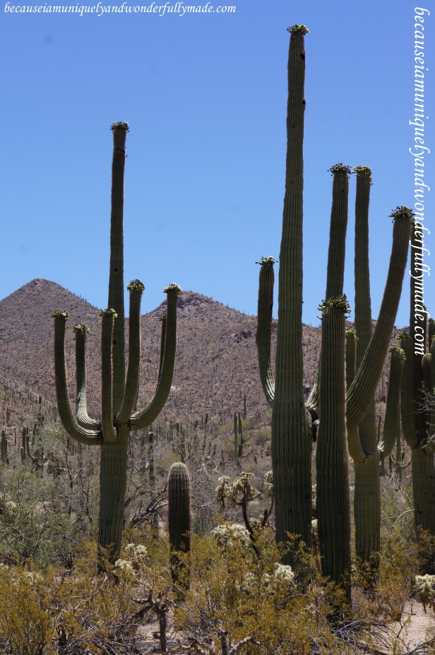 Saguaro cactus can weigh up to 8 tons, partly because of the large amount of water the stems can hold - after rainfall the cactus can absorb hundreds of gallons in a short time.