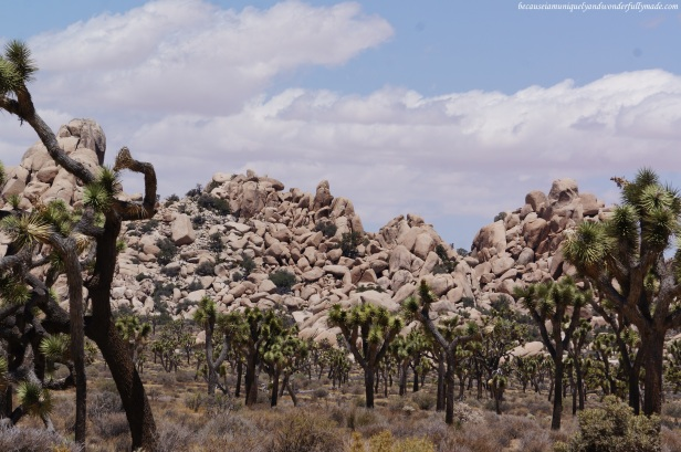 The charm of Joshua Tree National Park.